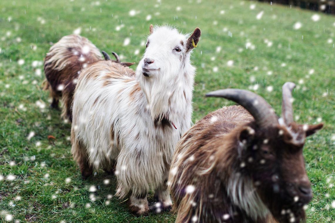 Snowy Goats!